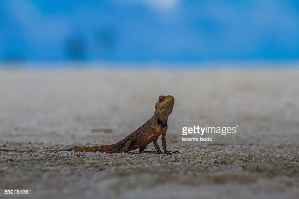Orange lizard sitting on the beach