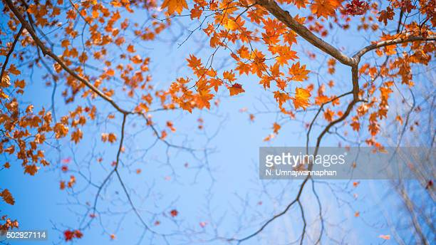 Orange maple leaves with blue background in South Korea