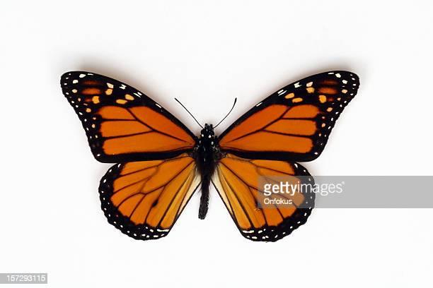 Arancia farfalla monarca isolato su sfondo bianco