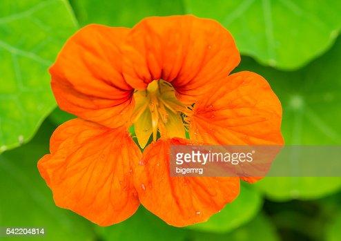 Orange Nasturtium : Stock Photo