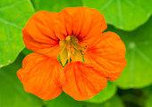 A macro shot of an orange nasturtium bloom.