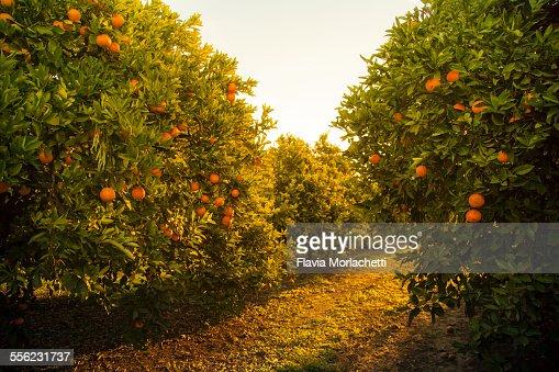 Orange orchard at sunset