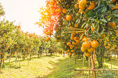 Orange orchard in northern Thailand in morning.