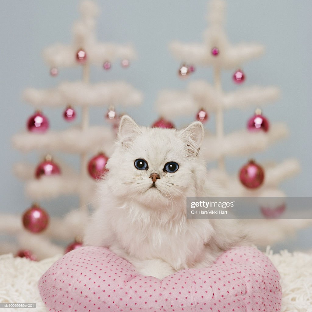 Orange Persian cat sitting on pink pillow with Christmas decoration : Stock Photo