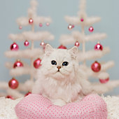 Orange Persian cat sitting on pink pillow with Christmas decoration