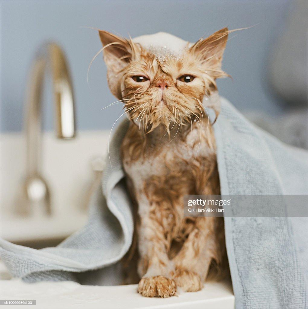 Orange Persian cat  under towel : Stock Photo