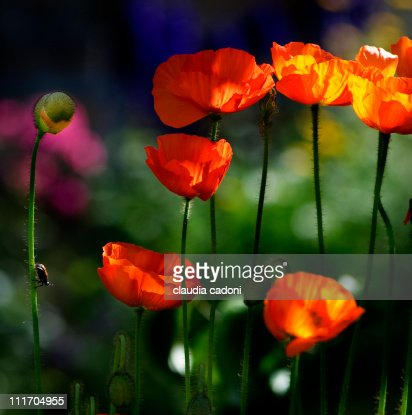 Orange poppies with a little insect : Stock Photo