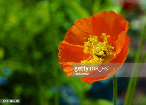 Orange Poppy : Stock Photo