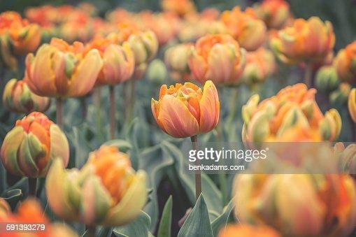Orange Princess Tulips : Stock Photo
