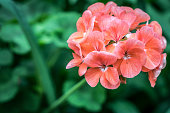 Orange red geranium flower on green blurred background