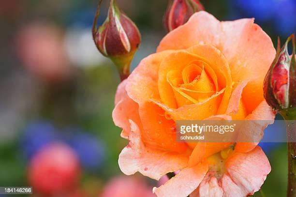 ROS'Orange