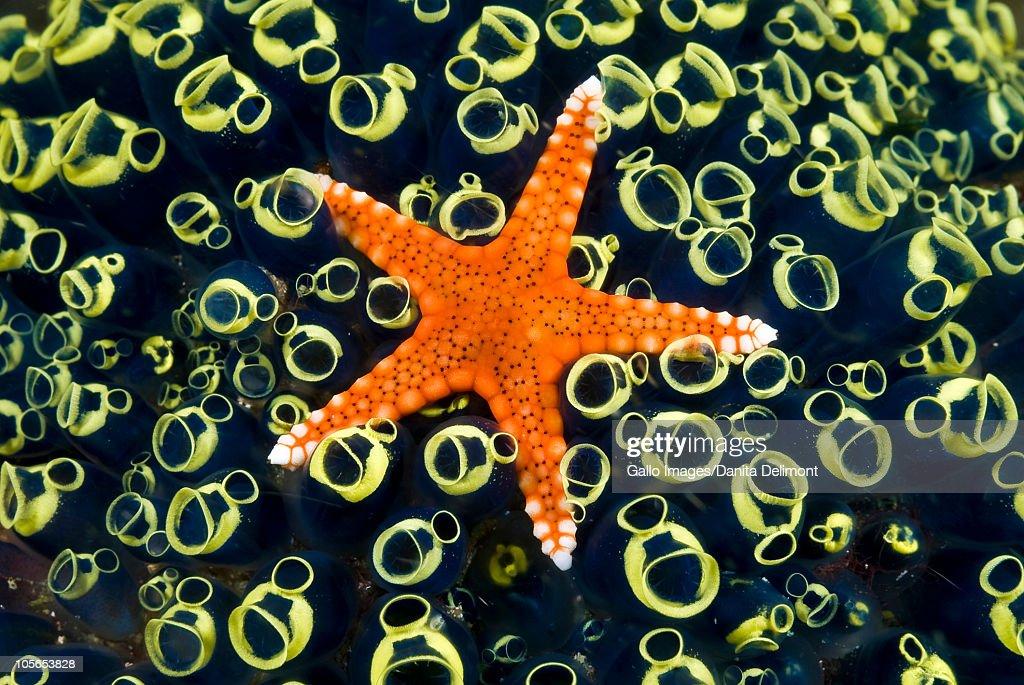 Orange sea star (Asteroidea) and sea squirts (Tunicate), Triton Bay, Fak Fak Fak, Papua, Indonesia : Stock Photo