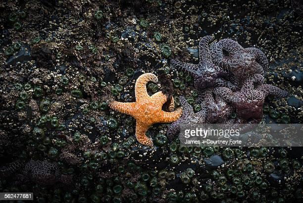Orange sea star next to group of purple sea stars, Indian Beach, Oregon