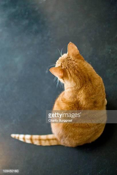 Orange, short hair, tabby cat back silhouette