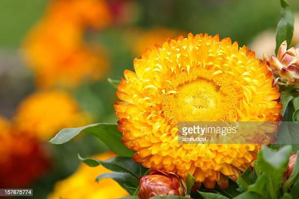 Orange Immortelle
