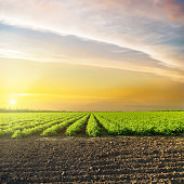 orange sunset in clouds over green agriculture field with tomatoes