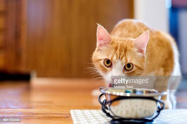 Orange tabby cat eating from bowl