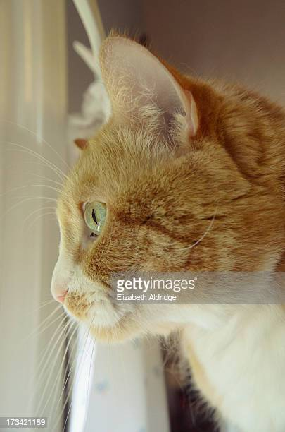 Orange Tabby Cat in Window