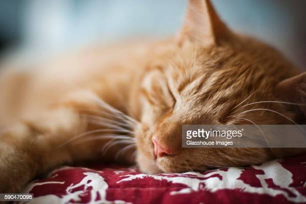 Orange Tabby Cat Sleeping, Close-up