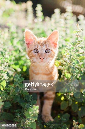 Orange tabby kitten in garden