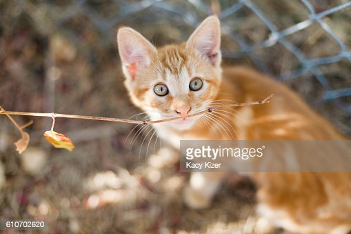 Orange tabby kitten plays with branch