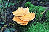 An orange cluster of mushrooms.