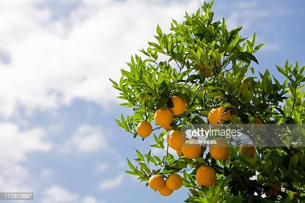 Orange Tree Against Blue Sky
