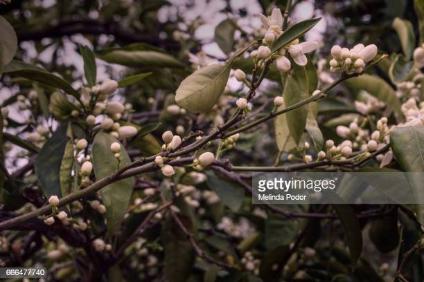 Orange tree branch full of buds and blooms, no fruit