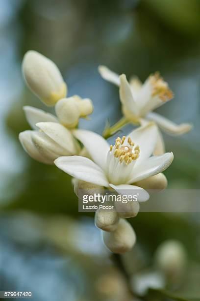 Orange tree flowers
