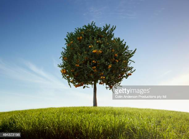 Orange tree growing in rural field