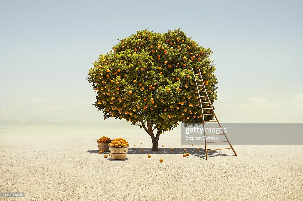 Orange tree harvest in barren desert : Stock Photo