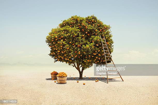 Orange tree harvest in barren desert
