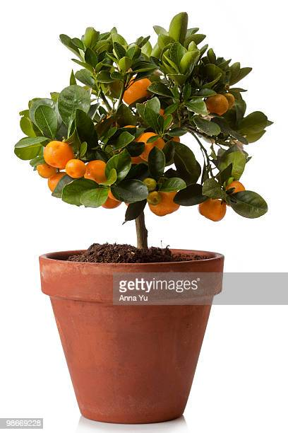Orange tree in clay pot