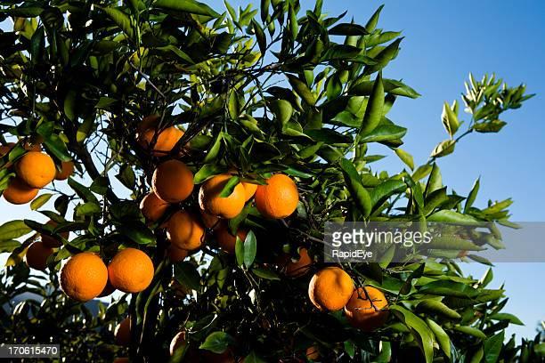 Orange tree (series)