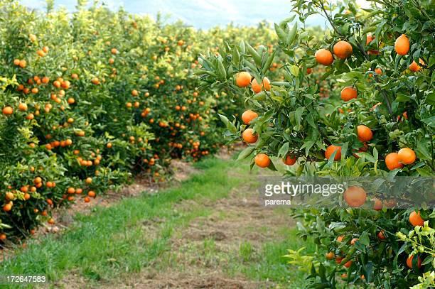 オレンジの木