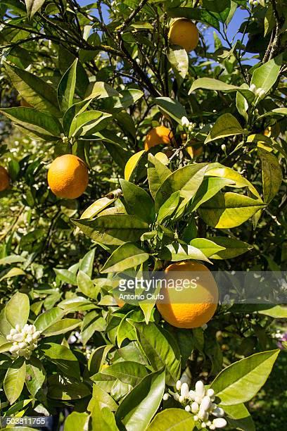 Orange tree, Sicily