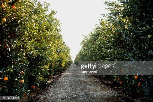 Orange trees in a grove