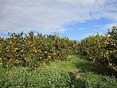 Orange Trees, Italy, Sicily