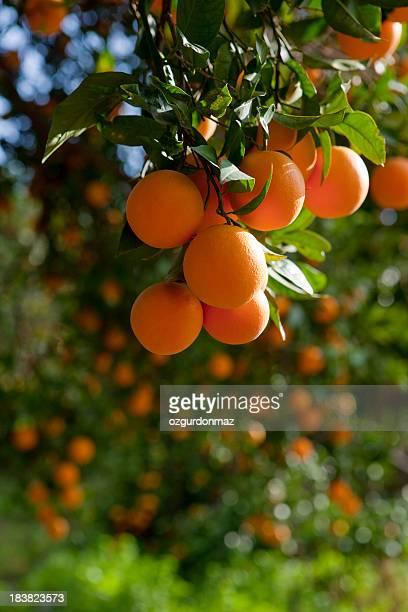 Árboles de Orange