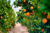 Orange grove in Southern Spain. Daylight, no people
