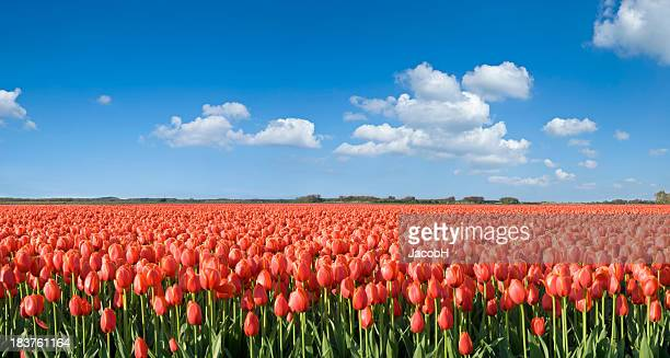 Orange Tulip Field