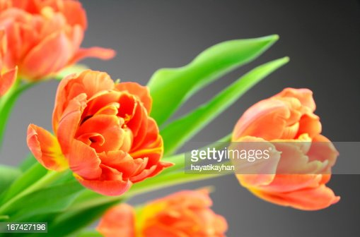 Flores de tulipán de Orange : Foto de stock