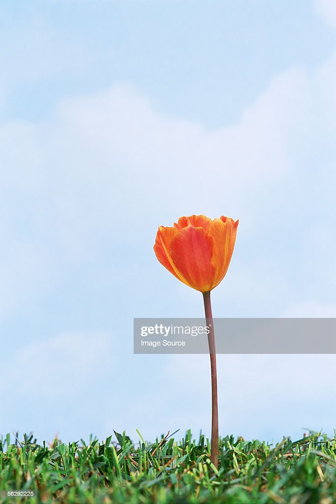 Orange tulip in grass : Stock Photo
