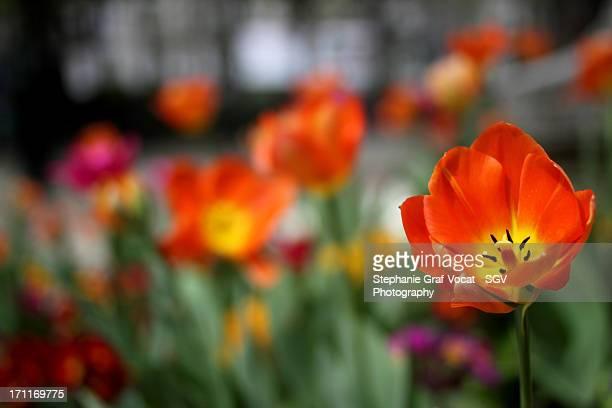 Orange tulip in Paris