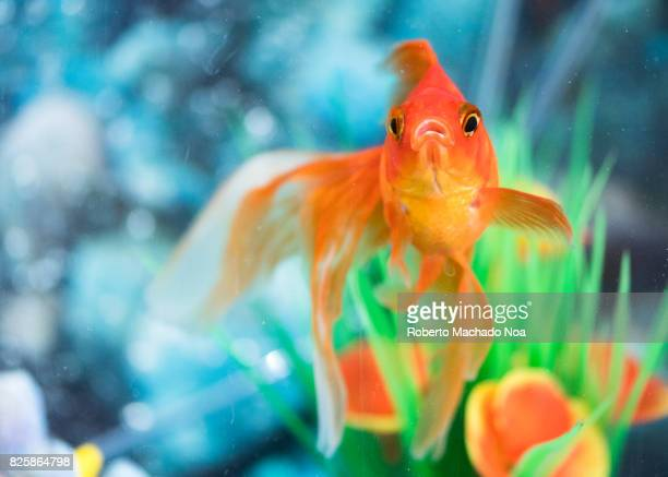 Orange veiltail goldfish pet in home aquarium The goldfish is a freshwater fish It is one of the most commonly kept aquarium fish