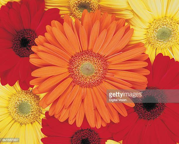 Orange, Yellow and Red Gerberas Crowded Together