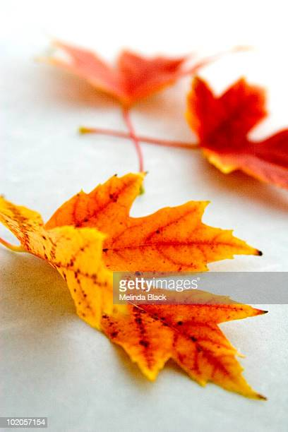 Orange & yellow autumn leaves on white background