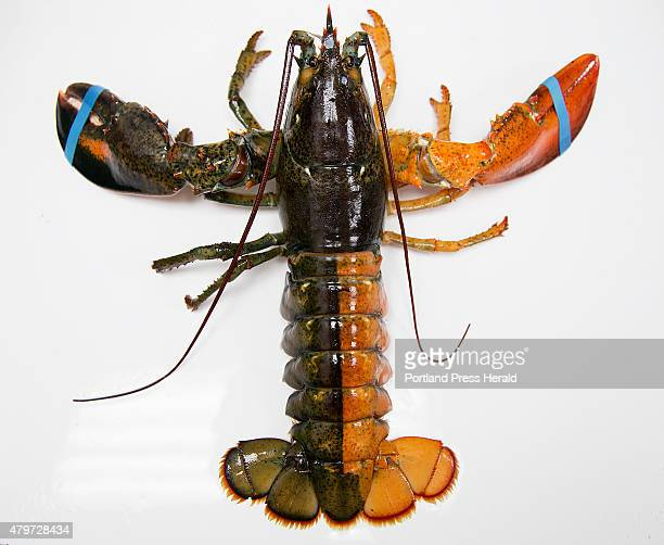 A orangebrown split colored lobster was photographed at the Pine Point Fisherman's CoOp on Monday July 6 2015 The lobsterman who caught it is unknown...