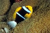 Orangefin anemonefish in Mertens' sea anemone guarding eggs that are stuck to the reef wall behind it Osprey Reef Coral Sea Australia
