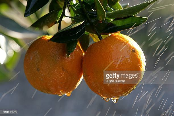 Oranges are sprayed with water to melt the ice frozen over them at the Keith A Nilmeier Farms January 16 2007 in Fresno California An estimated 70%...